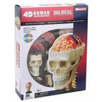 Пазл 4D Master Объемная анатомическая модель Черепно-мозговая кор Фото