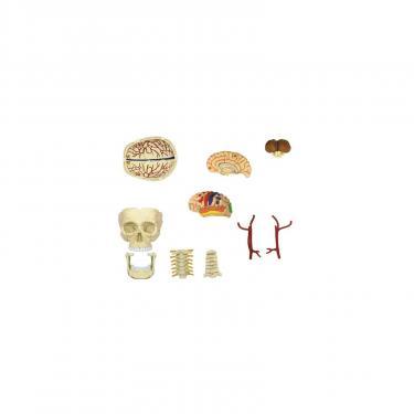 Пазл 4D Master Объемная анатомическая модель Черепно-мозговая кор Фото 3